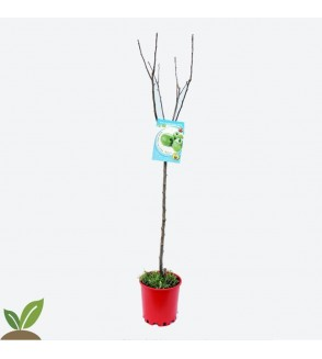 MANZANO GRAND SMITH ECO - ARBOL FRUTAL