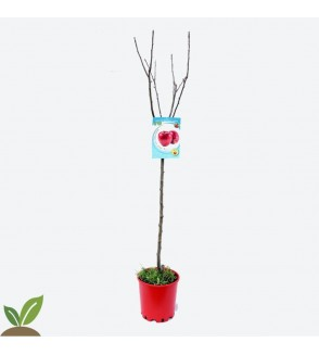 MANZANO TOP RED ECO - ARBOL FRUTAL