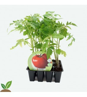 TOMATE TRES CANTOS PLANTEL ECOLÓGICO PACK 12 UD.